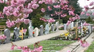 Cherry blossoms in a cemetery