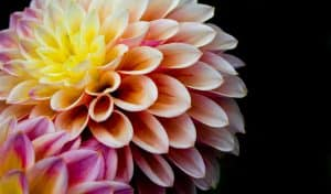 Multicoloured flower with black background