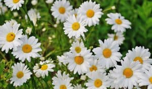 Daisies in green field