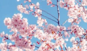 Cherry blossom with blue sky